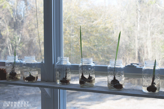 how-to-force-flower-bulbs-2
