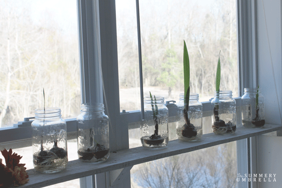 how-to-force-flower-bulbs