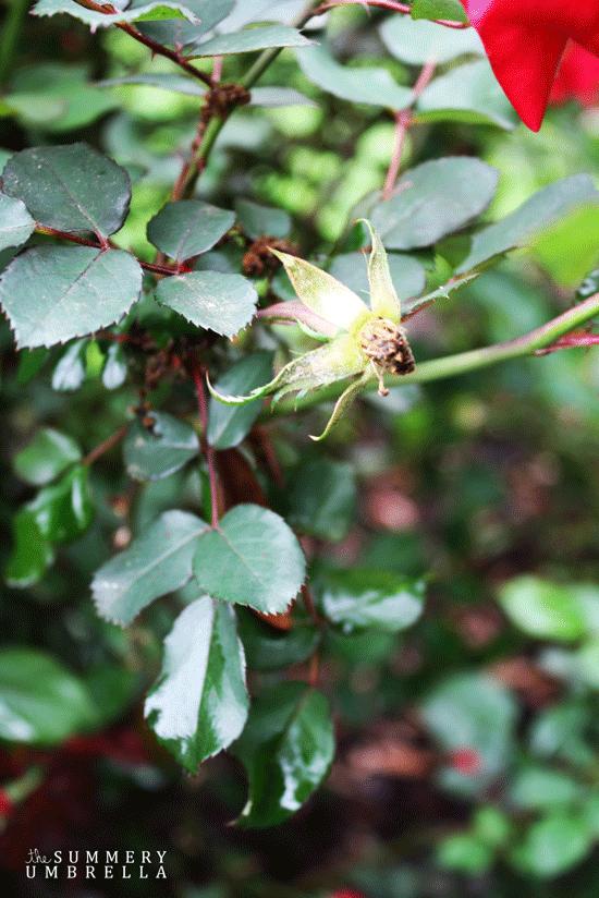 rose-pruning