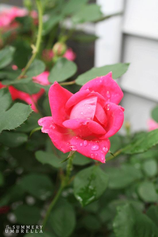 rose-pruning2