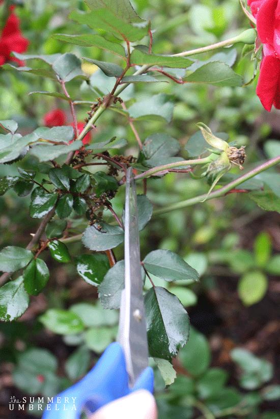 rose-pruning3