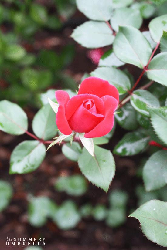 rose-pruning8