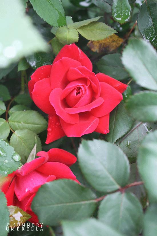 rose-pruning9